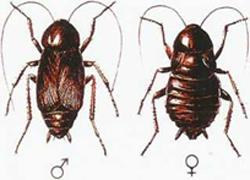 aralar-desinfeccion-cucaracha-negra-ficha