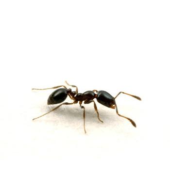 aralar-desinfeccion-hormigas-azabache-ficha