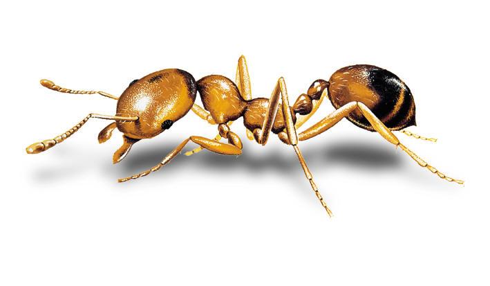 aralar-desinfeccion-hormigas-faraon-ficha