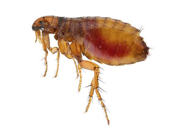 aralar-desinfeccion-pulga-gato-ficha