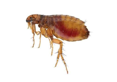 aralar-desinfeccion-pulgas