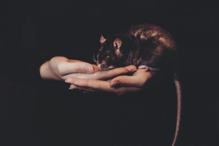aralar-desinfeccion-rata-negra