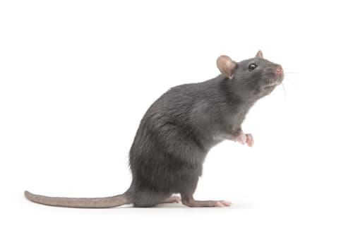aralar-desinfeccion-ratas
