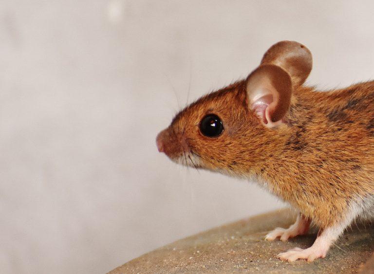 aralar-desinfeccion-raton-domestico