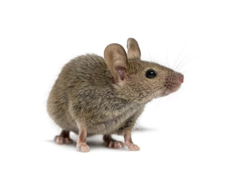 aralar-desinfeccion-ratones