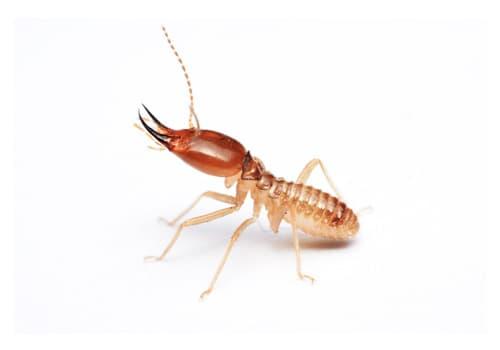 aralar-desinfeccion-termitas